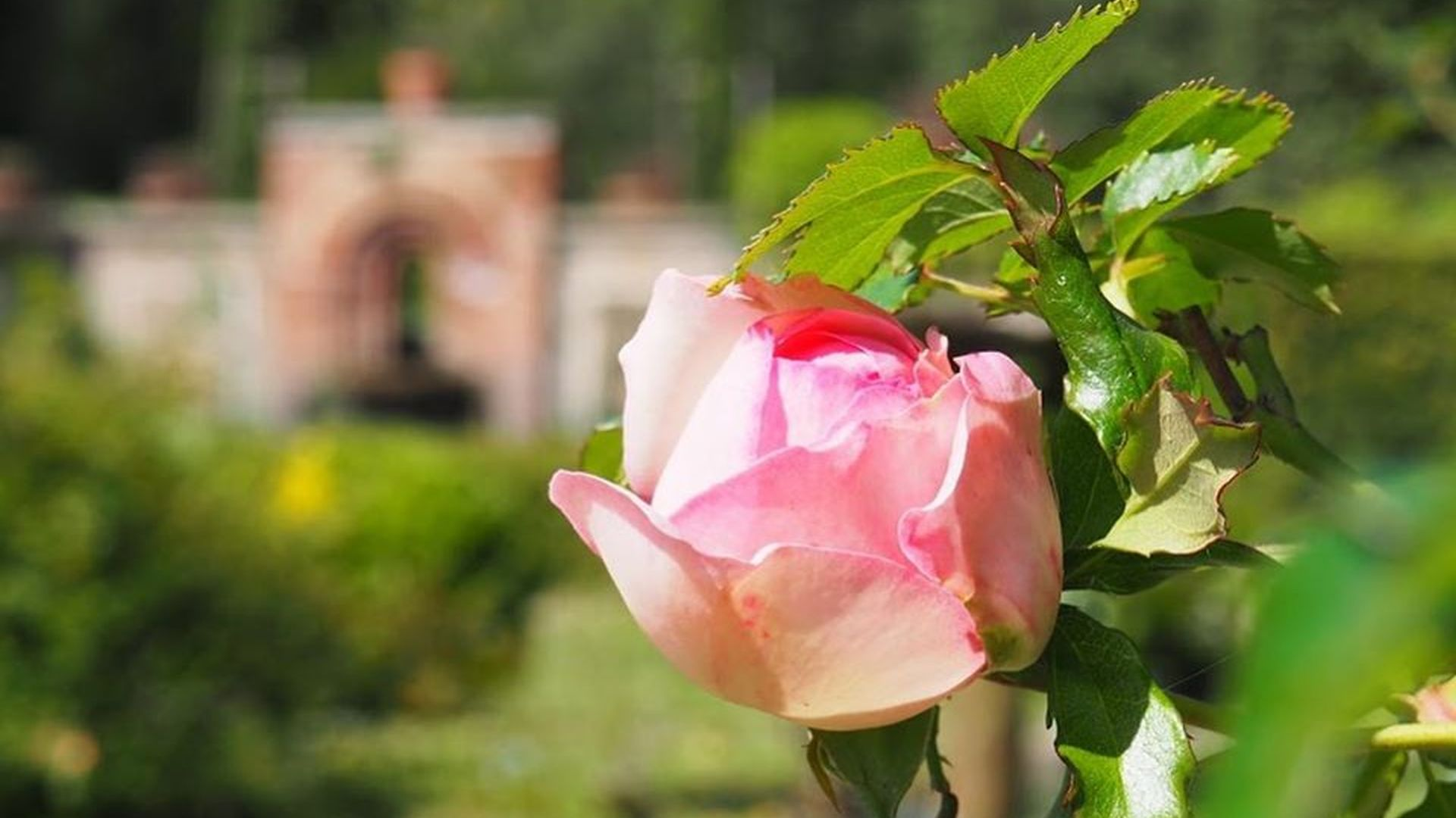 blooming rose in the park of villa reale in marlia