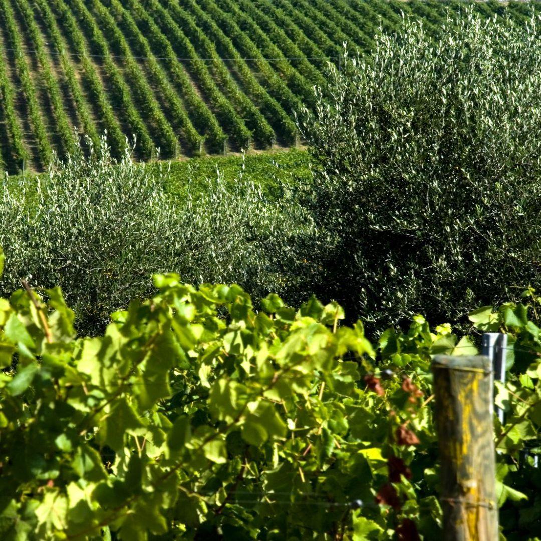 paesaggio di vigneti e oliveti nella piana di lucca