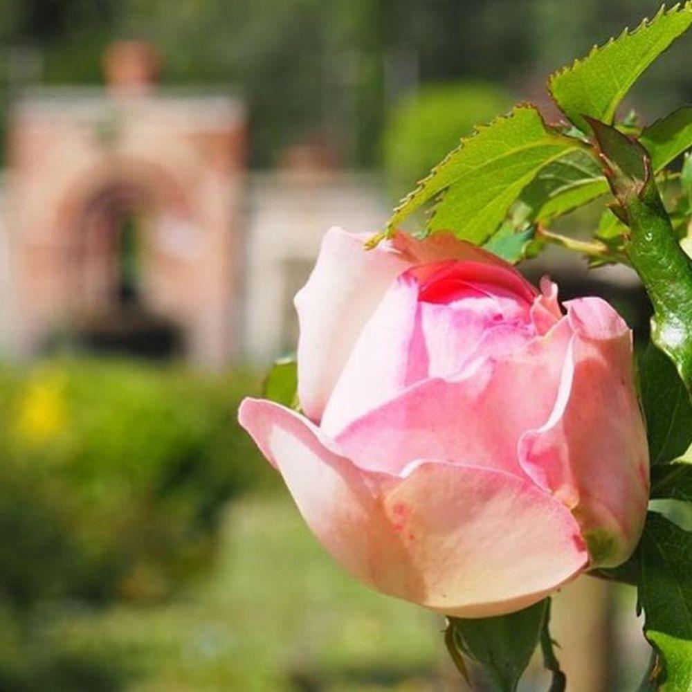 bocciolo di rosa a villa reale di marlia