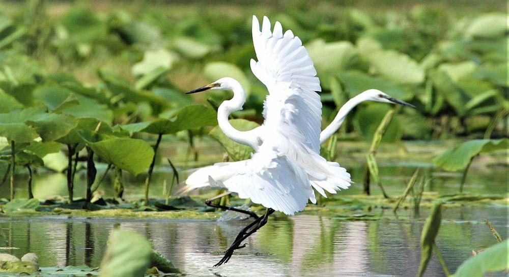 due garzette sfiorano volando il lago di sibolla nella piana di lucca