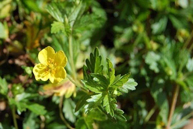 Photo of a green plant with a yellow flower called Potentilla Erecta, a medicine plant, symbol of motherlove
